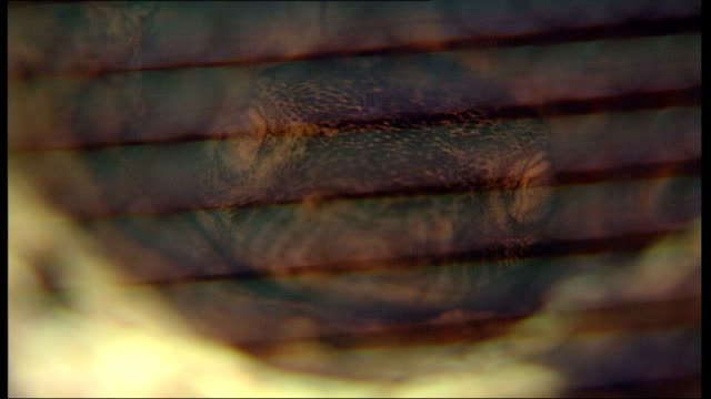 Komodo Dragon lizards' virgin birth ENGLAND London London Zoo INT 'Komodo Dragon' lizards in amongst leaves in cage