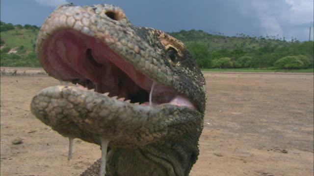 Cu Komodo Dragon With Open Mouth Komodo National Park East ...
