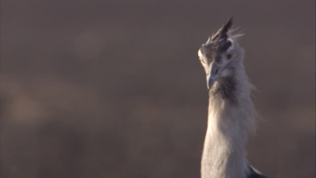 A Kori Bustard looks around as it calls. Available in HD.