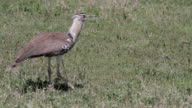 Kori bustard picking up food