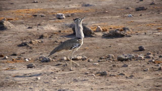 MS TS Kori Bustard walking on dirt / Namibia