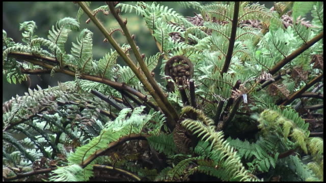 (HD1080) Koru Fern Frond:  Symbolizes Growth, New Life, Strength, Peace