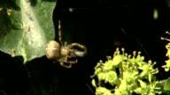 Kreuzspinne verpackt ihre Beute