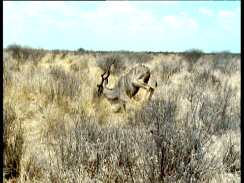 Kudu antelope collapses from exhaustion as San bushman approaches after 8 hour long hunt through Kalahari desert, Southern Africa