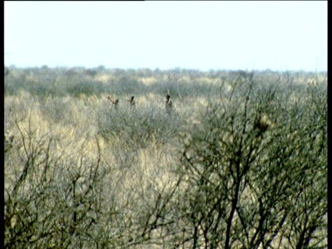 Kudu antelope panic and run as San bushmen track them through Kalahari desert, Southern Africa