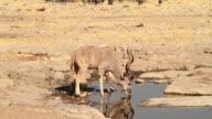 Kudu drinking from a waterhole at Etosha National Park in Namibia.