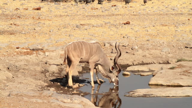 Kudu drinking from a waterhole at Etosha National Park in Namibia.