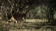 Kudu graze and chase each other off.
