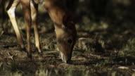 Kudu graze in woodland.