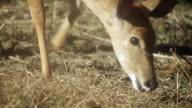 Kudu grazes in woodland.