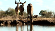 Kudu herd drinking at waterhole in Mashatu game reserve.Botswana