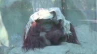 La justicia argentina estudia esta semana el destino de la orangutan Sandra considerada sujeto no humano y con derecho a la libertad y que segun...