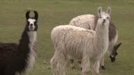 La llama camelido de Los Andes es celebre por su lana y su uso como animal de carga