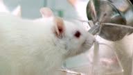Lab rat drinking