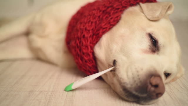 Labrador beautiful adult is sick with a thermometer