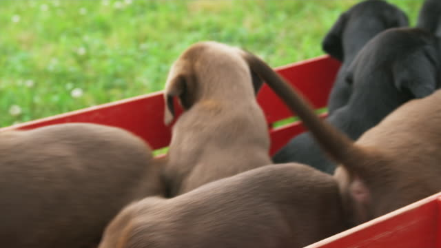 CU HA PAN Labrador puppies jumping out of toy wagon on meadow, Sunderland, Vermont, USA