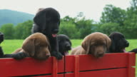 CU Labrador puppies jumping out of toy wagon on meadow, Sunderland, Vermont, USA