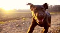 SLO MO Labrador puppy running along field