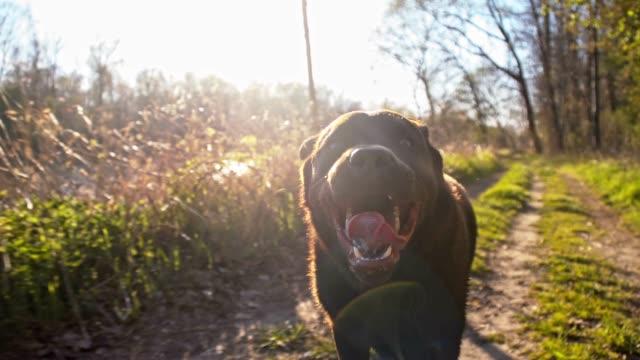 SLO-MO Labrador Retriever Laufen in Natur