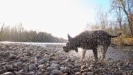 SLO MO Labrador retriever shaking off water