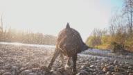 SLO MO Labrador shaking off water