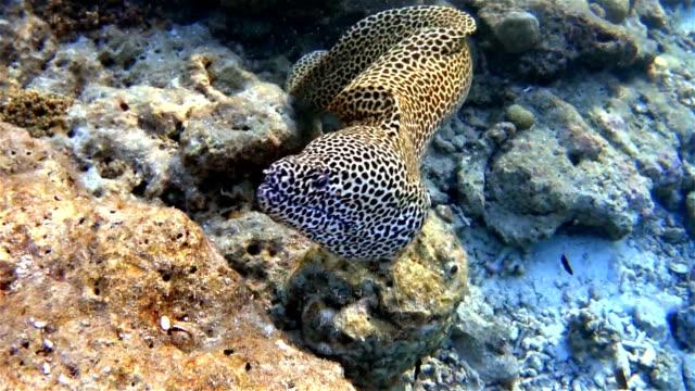 Allacciate moray nuota in un Acquario coral cave sulle Maldive