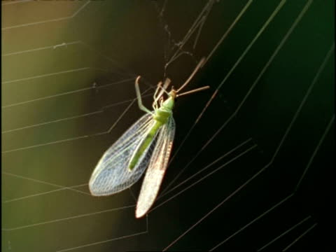 CU Lacewing struggling in spiders web, USA