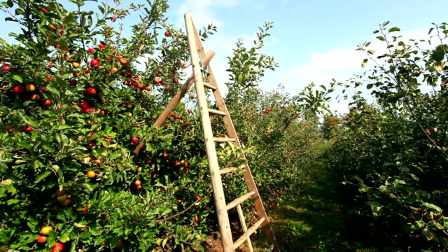 Ladder with Apple Trees