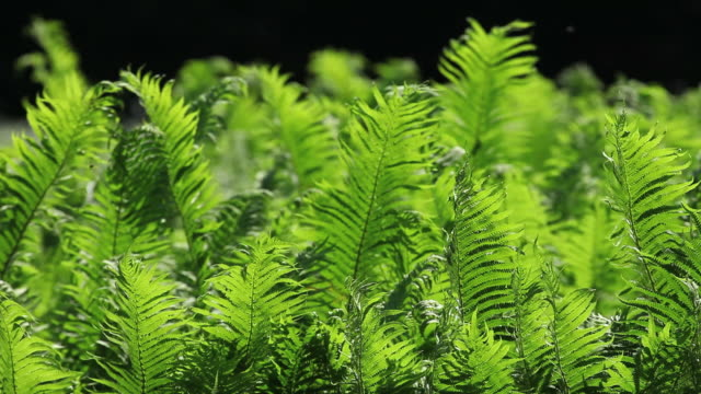 Lady Fern swaying in the wind (loopable)