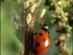 Ladybird Beetle (Coccinella 7-punctata) eating aphids on nettle stem, England