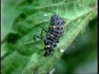 CU Ladybird Beetle larvae crawls over nettle, United Kingdom