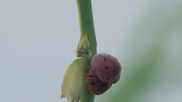 Ladybug breeding on a tree