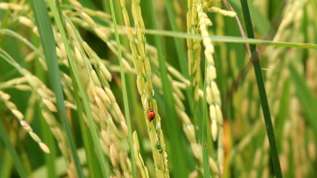 Ladybug eating green rice