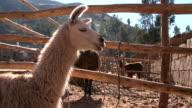 Lama of Peru