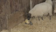 Lamb being licked by mother after birth