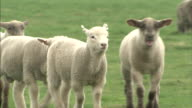 Lambs (bleating): Medium shot