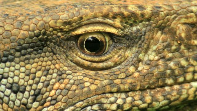 Land Monitor (Varanus bengalensis), Extreme closeup on eye