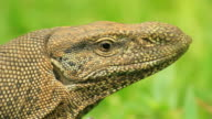 Land Monitor (Varanus bengalensis), Extreme closeup on head