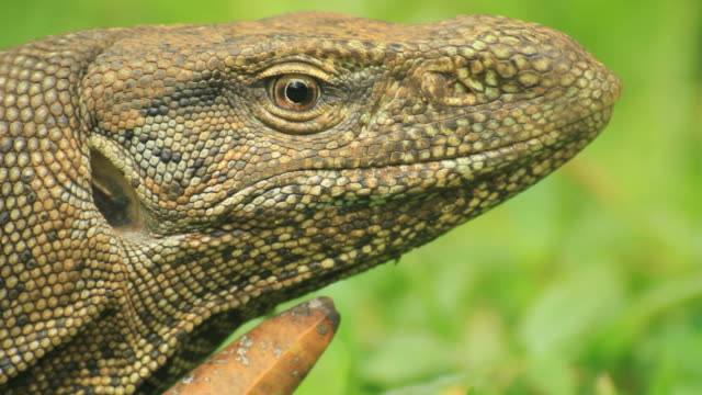 Land Monitor (Varanus bengalensis), Extreme closeup on head