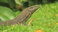 Land Monitor (Varanus bengalensis) on grass, Extreme closeup