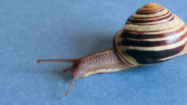Land snail or garden snail crawling. The terrestrial gastropod mollusk has a yellow and brown shell