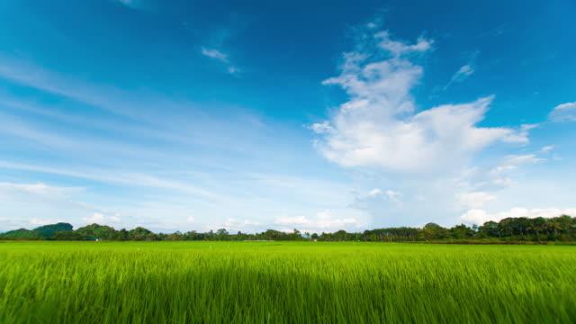 4K: landschap van een mooi groen gebied met rijst