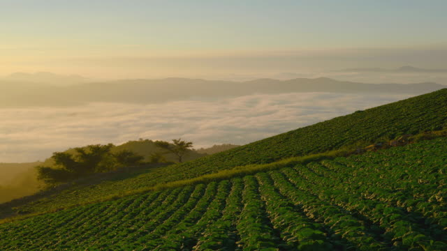 WS T/L Landscape of highland Chinese cabbage field with cloud sea / Anbandeok, Gangwon-do, South Korea