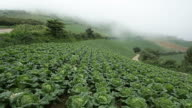 MS Landscape of Highland Chinese Cabbage Field with fog over / Donghae, Gangwon-do, South Korea