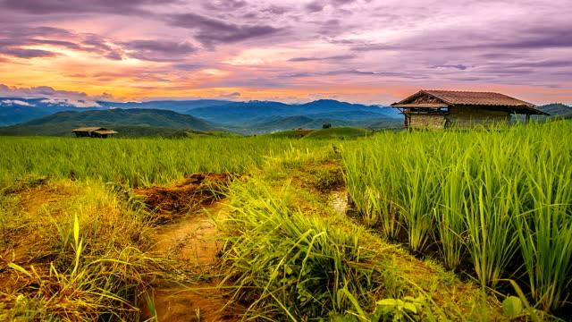 Landscape of rice farm.