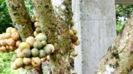 Langsat fruit tree.