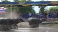 Languidly ploughing flooded paddy fields Thailand's buffaloes don't usually strike people as the quickest of beasts