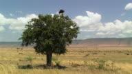 WS, Lappet-faced vulture (Torgos tracheliotus) on top of tree in savanna, Masai Mara, Kenya