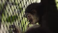 Lar gibbon (Hylobates lar) peers through fence in forest sanctuary, Thailand