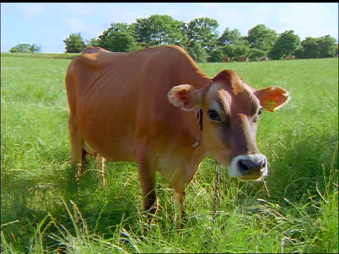 Large brown cow grazing in green field looking at camera / Faborg, Fyn, Denmark